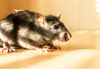 How to Preventing Rodents | Rodent Pest Control Services